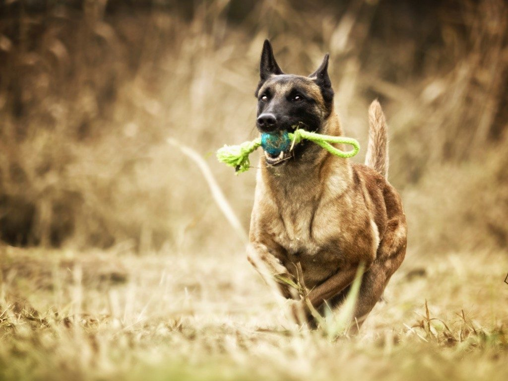dog-running-with-toy-1024x768